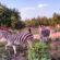 বঙ্গবন্ধু শেখ মুজিব সাফারি পার্কে নির্ভয়ে ঘুরে বেড়াচ্ছে বন্যপ্রাণীরা